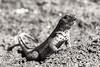 A male Lava Lizard