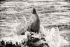Sea Lion in the waves