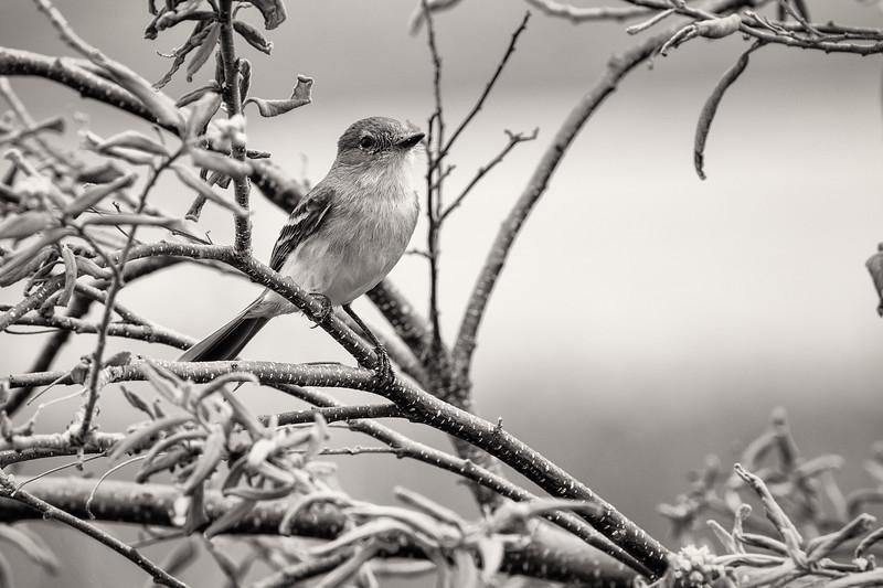 A Galápagos Flycatcher