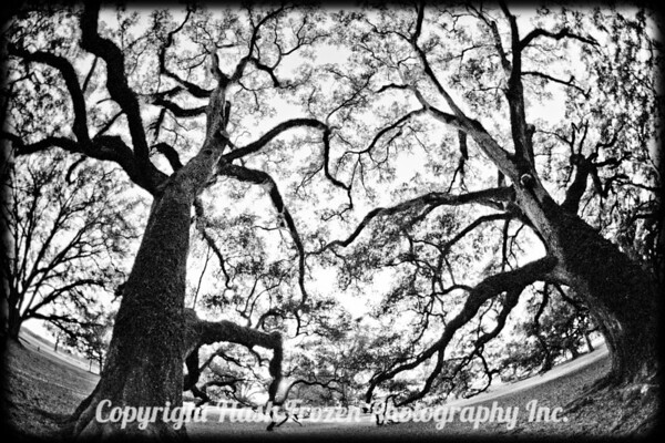 NOLA Oak Alley Tree IR-01