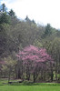 Redbuds in bloom at the start of the hiking trails on the property of Blackberry Farm