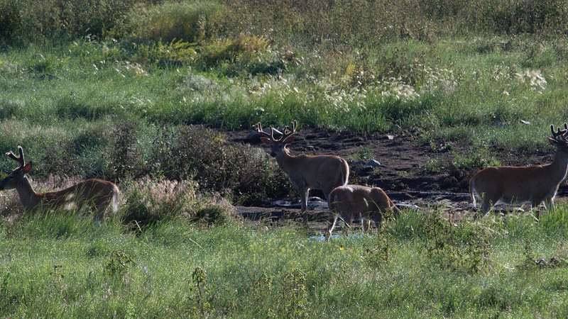 Early morning meeting of the Young Bucks at the watering hole