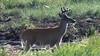 Young Buck Wildlife Loop