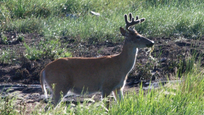 Young Buck Wildlife Loop