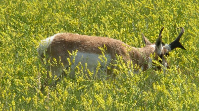 Pronged Antelope
