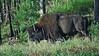 Magnificent Bison
