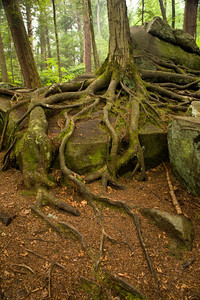Closer look at the roots on Swallow Falls trail