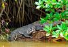 CrocodileBelizeRiver-01