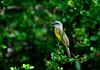 TropicalKingbird-Belize-02