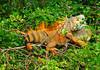 IguanasBelizeRiver-05