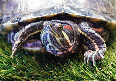 Inside the Duluth Aquarium we meet this lovely Red-Eared Slider Turtle ...