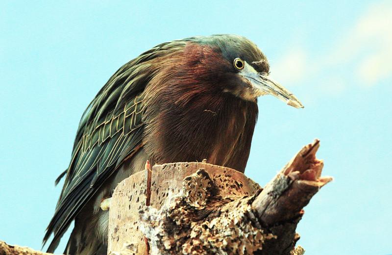 ... and a ferociously serious Green Heron.