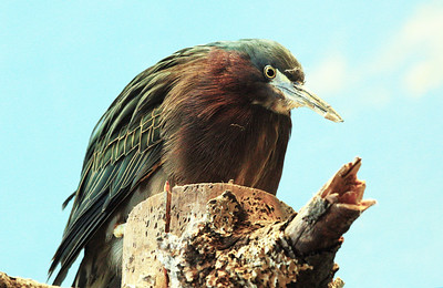... and a ferociously serious Green Heron.