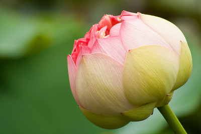 Blue Lotus Watergarden