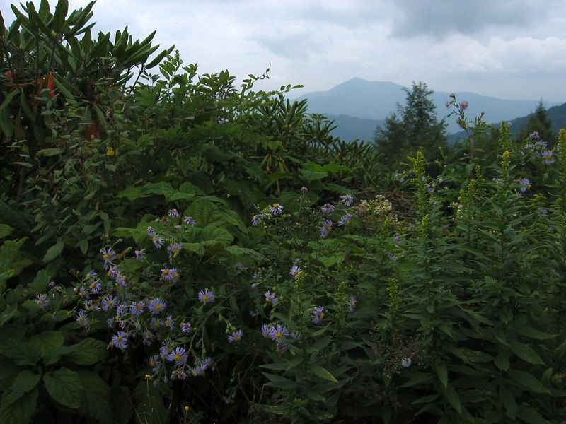 Near Mt Pisgah with dark lavender daisy-like flowers in fg