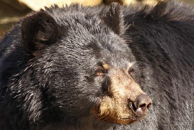 Carolina Black Bear