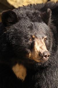 Black Bear Closeup