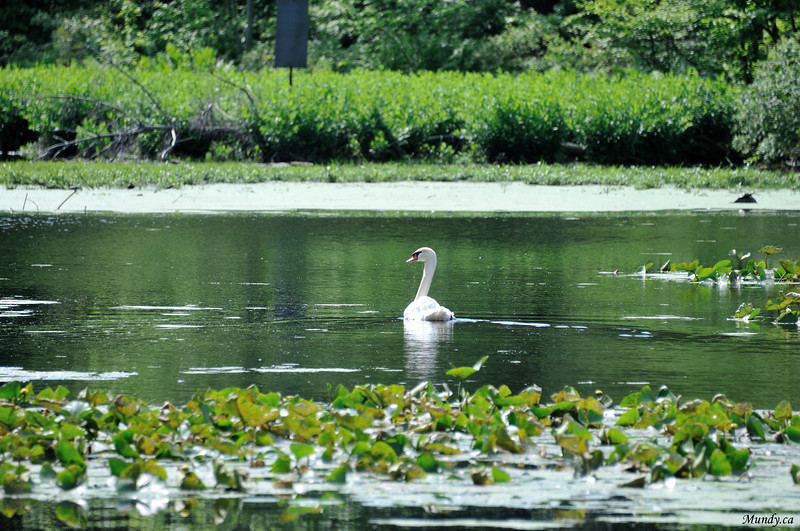 The Swan in the pond.