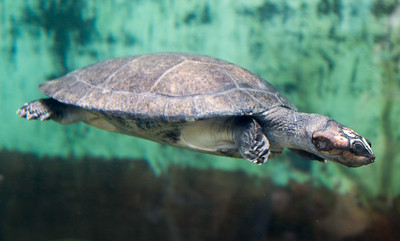 A turtle swims past, below the surface.