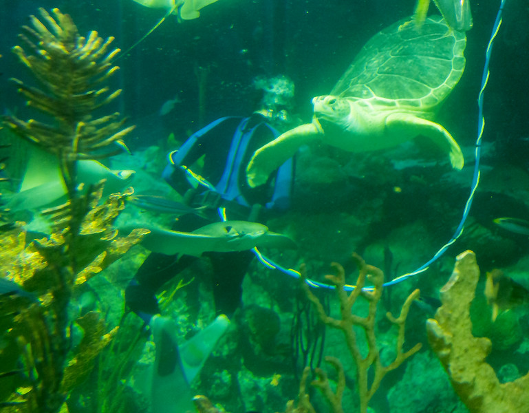 Diver among rays and large turtles