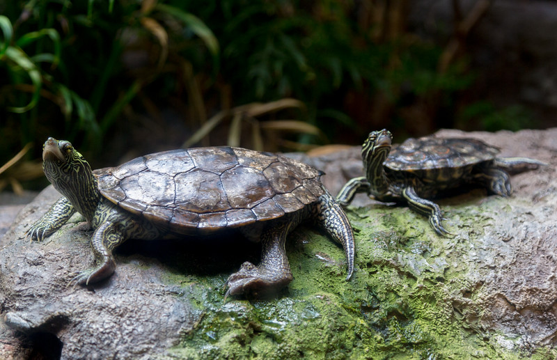 A couple of ordinary turtles among the exotica of the Shedd Aquarium