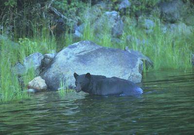 Black bear, Ocean Falls