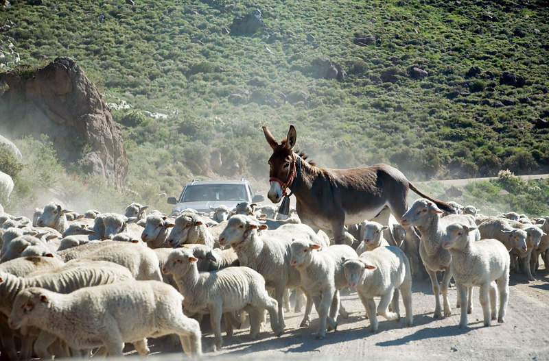 We encountered this flock of sheep blocking the road to Bodie.  I'm not sure why the donkey was with them.