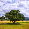 Zelkova Tree of Wonjeong-ri, Boeun
