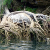 An exposed tree root along Loboc River in Bohol island, Philippines.