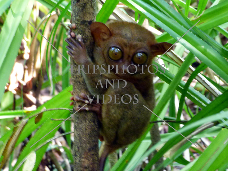 A tarsier holding on a tree at the sanctuary in Tagbilaran, Bohol, Philippines.
