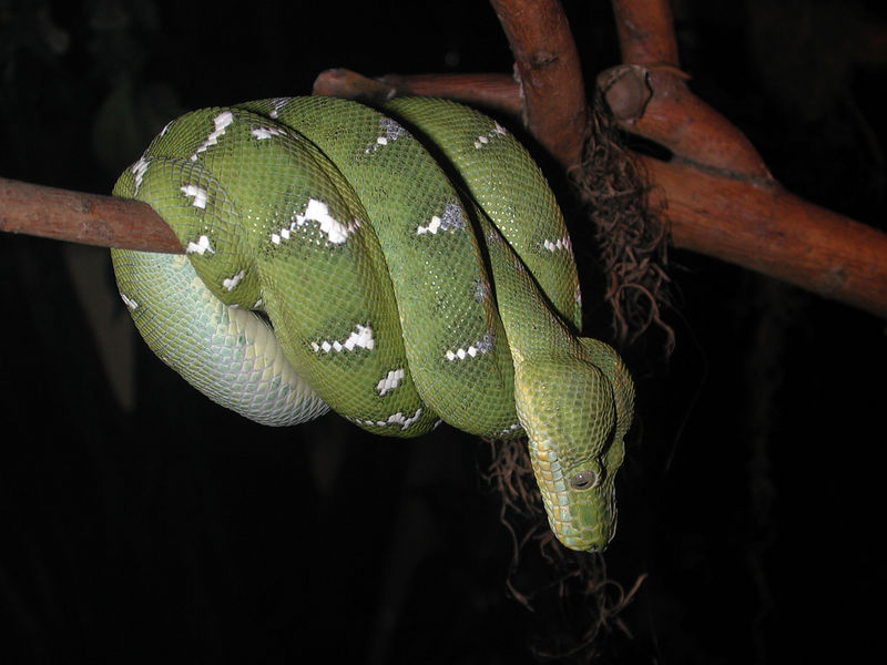 """An Emerald Tree Boa picture taken on February 9, 2006 at the """"World Center for the Birds of Prey"""" in Boise, ID."""