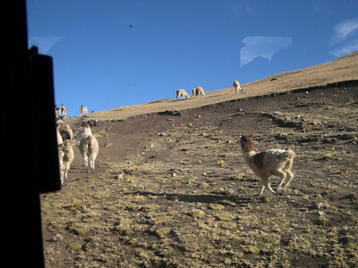 Llamas scared off the road by the bus.