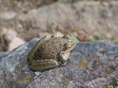 So, there are toads in Bolivia!
