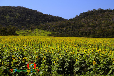 Bolivian sunflowers on the road from Trinidad to Santa Cruz.  July 11, 2012