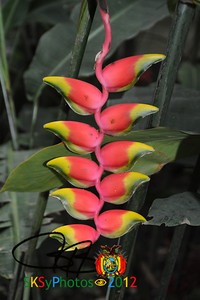 The patuju flower.  One of 2 national flowers of Bolivia (the other being the cantuta).  Both contain the 3 colors of the Bolivian flag.