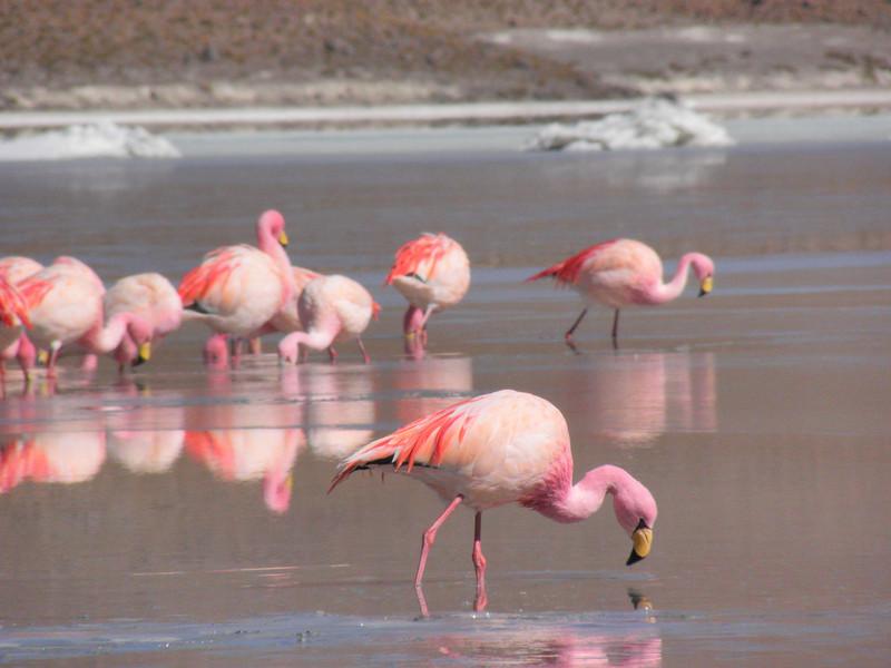 Flamencos en la laguna roja