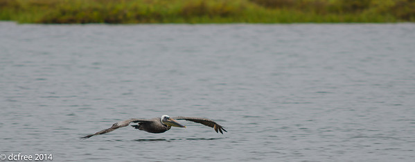 Cruzin Brown Pelican