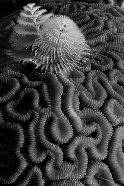 Christmas Tree Worms and Brain Coral