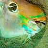 Parrot Fish Skull