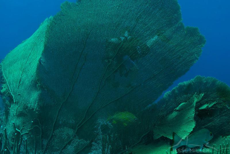 Sea Fan and Scuba Diver