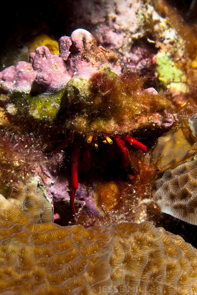 Reef Hermit Crab
