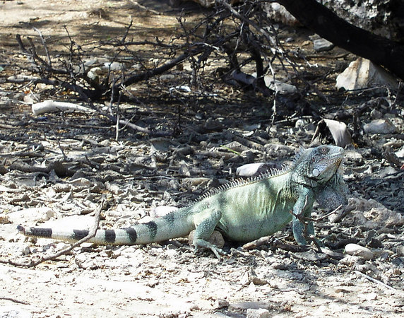 One of the many Iguanas to be found on Bonaire
