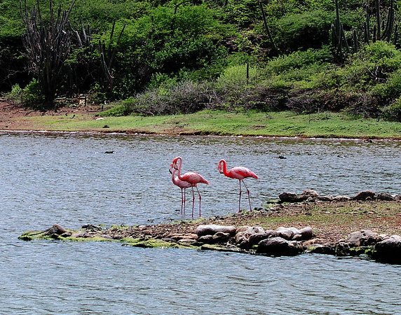 Greater Flamingos, Bonaire's second claim to fame