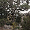 Magnificent live oak draped in Spanish moss