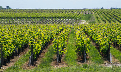 Vines around Chateau Lynch Bages, Bordeaux France