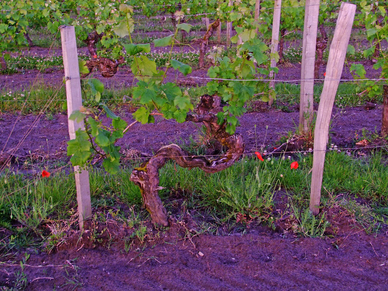 """An """"old vine"""" which produce the best - but fewer grapes.  Vines live about 70 years."""