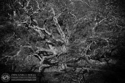 Giant Oak near Borges Ranch Trail. Mt. Diablo, Walnut Creek, CA.