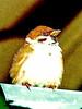 Eurasian Tree Sparrow, juvenile