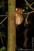 Malaysia. Borneo. Sabah. Sepilok. Sepilok Orangutan Rehabilitation Centre: Western Tarsier (<i>Cephalopachus bancanus</i>)