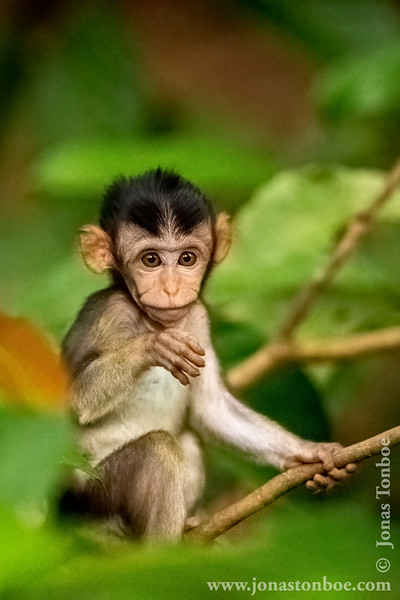 Long-tailed Macaque